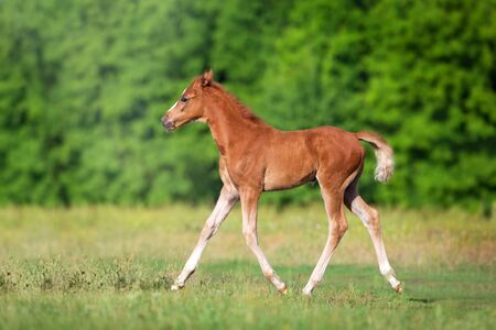 Beautiful red foal run and fun on spring green field Stockfoto