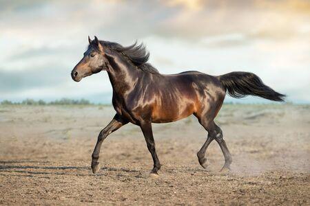 Horse free run on desert dust