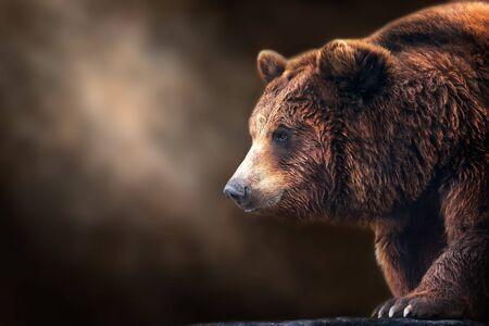 Brown bear close up portrait on dark background Stock Photo