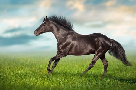 Black stallion close up run gallop on green grass Stock fotó