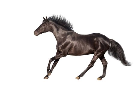 Zwart paard dat op witte achtergrond wordt geïsoleerd Stockfoto