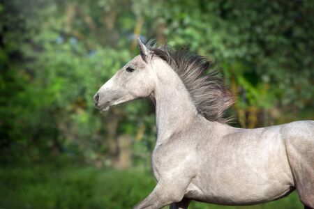 Grey horse portrait in motion outdoor