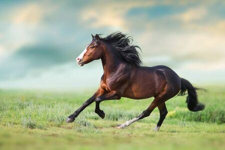 Koń z długą grzywą z bliska biegnie na zielonym polu