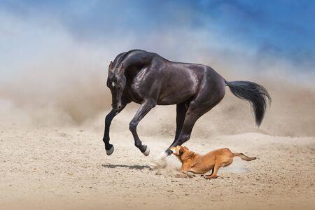 Achal teke Pferdelauf mit Hund im Wüstenstaub Standard-Bild