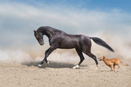 Akhal teke Horse run with dog in desert dust Stock fotó