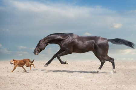 Akhal teke Horse run with dog in desert dust Reklamní fotografie