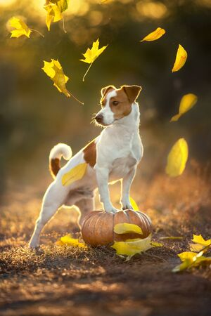 Jack russell terrier with pumpkin and fall leaves at sunlight