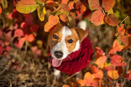 Jack russel terrier in scarf on autumn leaves Stock fotó