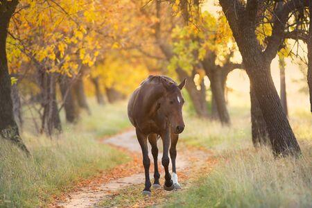 Bay stallion in fall park at sunset light