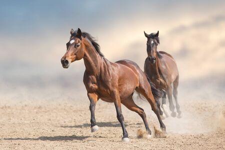 Two bay horses run gallop in desert Stock fotó