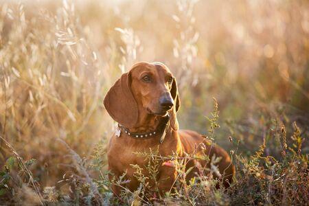 Wiener dog portrait on autumn landscape at sunrise
