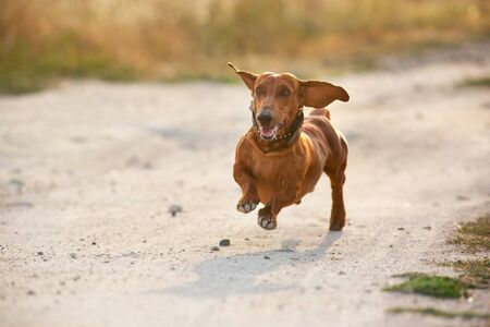 Wiener dog run on autumn landscape at sunrise
