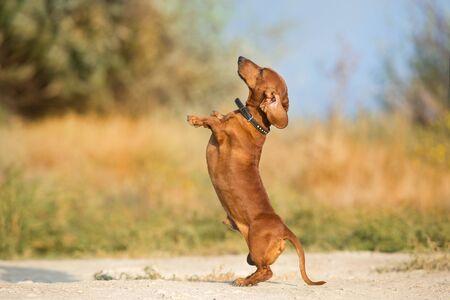 Dachshund dog make trick