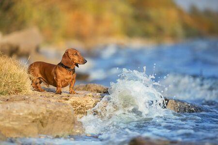 Wiener dog portrait on autumn landscape near the river