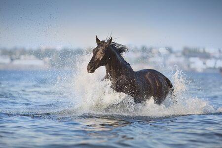 Black horse run in blue river Stockfoto - 131889647