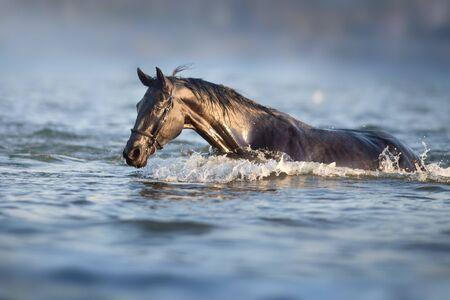 Black horse run in blue river Stockfoto - 131888743
