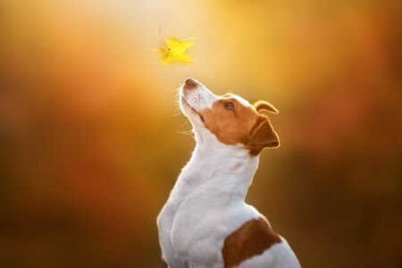 Jack russel close up portrait with autumn leaves at sunlight 版權商用圖片 - 133382159