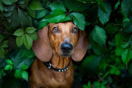 Wiener dog close up portrait in green leaves Stock fotó