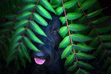 Giant schnauzer close up portrait in green leaves Stock fotó