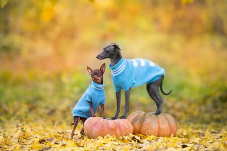 Two dogs standing on pumpkins against fall landscape