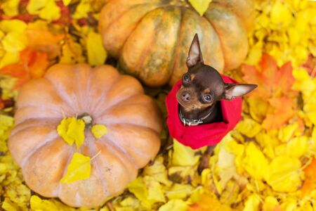 Toy terrier standing on orange and yellow leaves and pumpkins Stock fotó