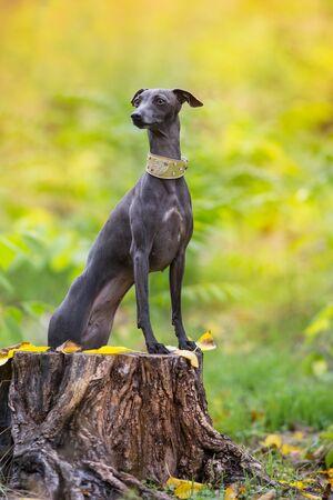Italian greyhound close up portrait in autumn forest