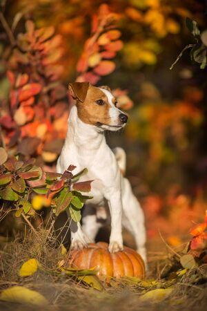 Dog standing on pumpkins against fall landscape