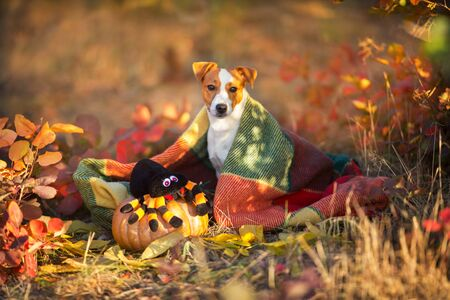 Jack russel terrier with plaid and pumpkin Stock fotó