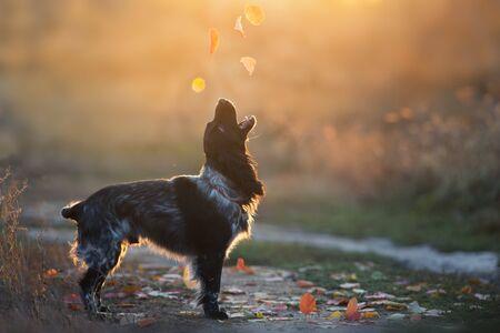 Russian spaniel dog in sunlight 스톡 콘텐츠