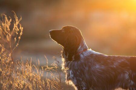 Russian spaniel dog portrait in sunlight