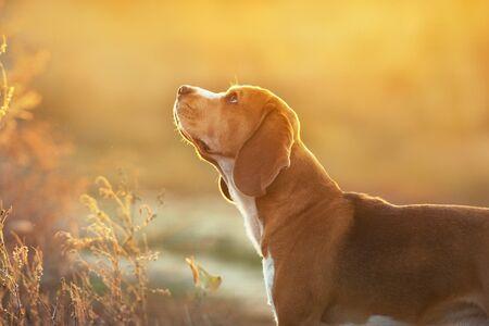 Beagle portrait in sunset light