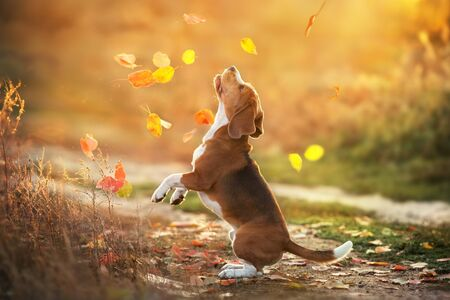 Beagle play with leaves in sunset light 스톡 콘텐츠