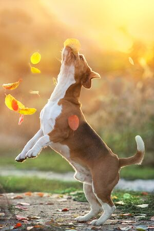 Beagle play with leaves in sunset light
