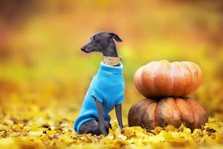 Italian greyhound  standing on pumpkins