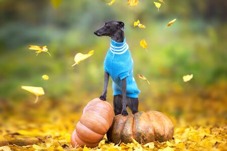 Italian greyhound  standing on pumpkins