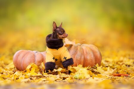 Toy terrier standing on orange and yellow leaves and pumpkins Zdjęcie Seryjne