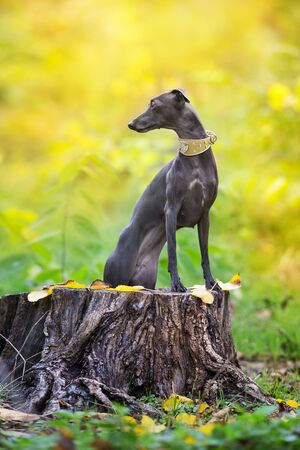 Italian greyhound close up portrait in autumn forest