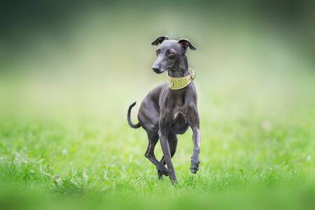 Italian greyhound on green grass 스톡 콘텐츠