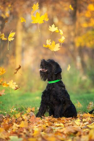 Giant Schnauzer sitting  in yellow and orange fall leaves Zdjęcie Seryjne