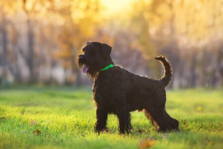 Giant Schnauzer  standing in yellow and orange fall leaves