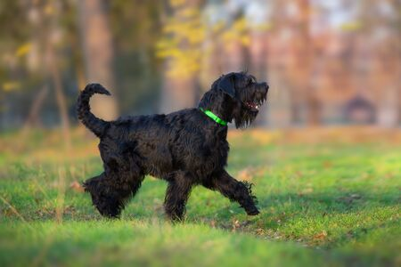Giant Schnauzer  walk in yellow and orange fall leaves