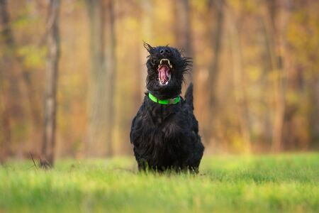 Giant schnauzer Run and play fun in autumn park