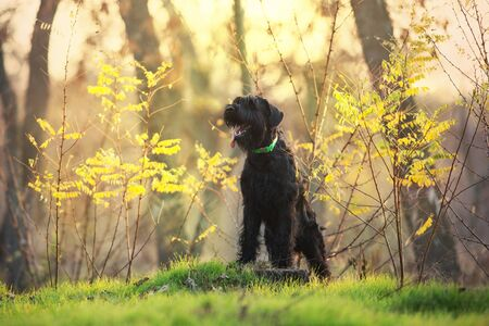 Giant schnauzer dog in fall park 스톡 콘텐츠