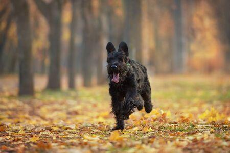 Giant schnauzer Run and play fun in autumn park
