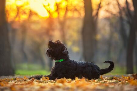 Giant schnauzer dog laying  in fall park at sunset 스톡 콘텐츠