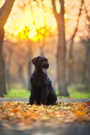 Giant schnauzer dog in fall park at sunset 스톡 콘텐츠