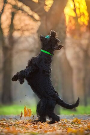 Giant schnauzer dog play in fall park at sunset 스톡 콘텐츠