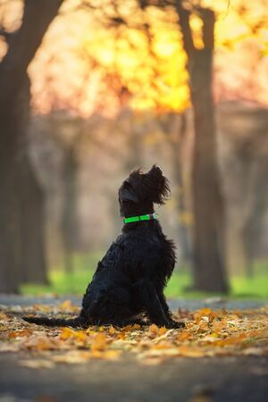 Giant schnauzer dog in fall park at sunset Zdjęcie Seryjne