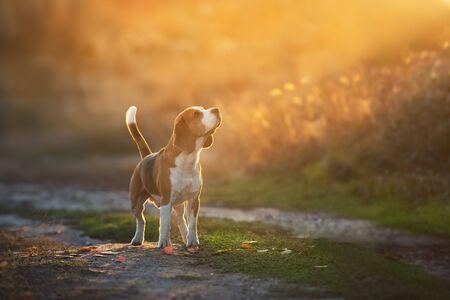 Beagle standing in sunset light 스톡 콘텐츠