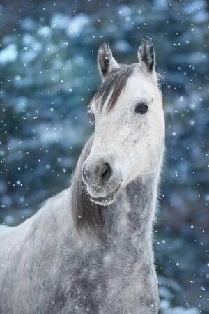 White arabian horse portrait in snow landscape 스톡 콘텐츠